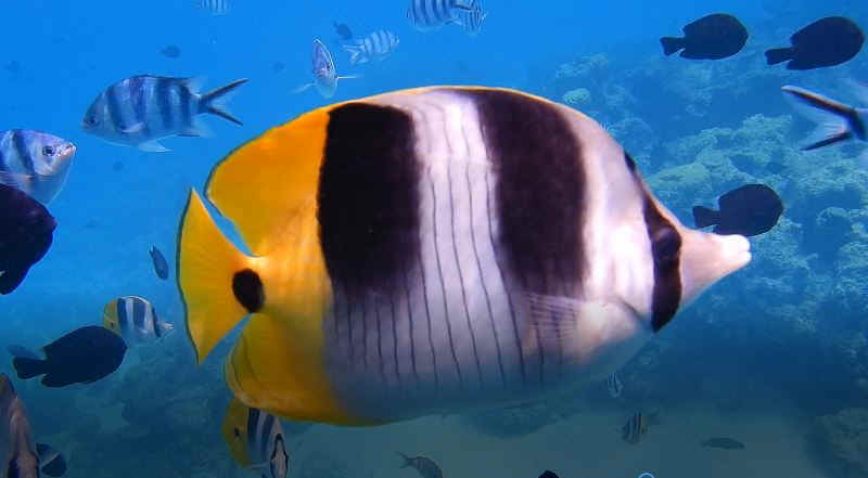 Butterfly fish 2.JPG (49636 Byte)